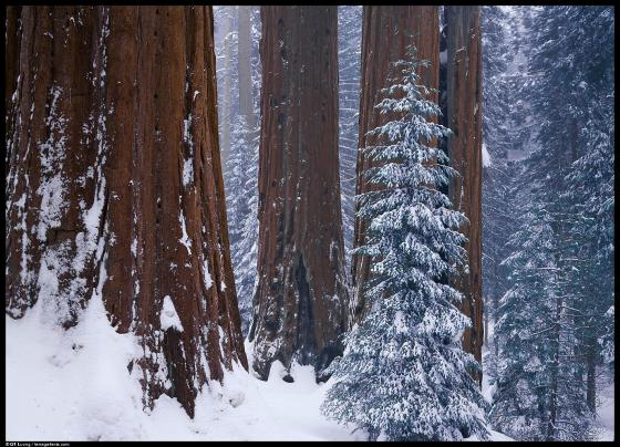 sequoias.big