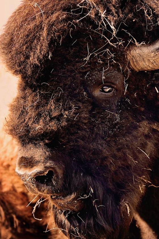 Bisonbulle(Bison Bull)