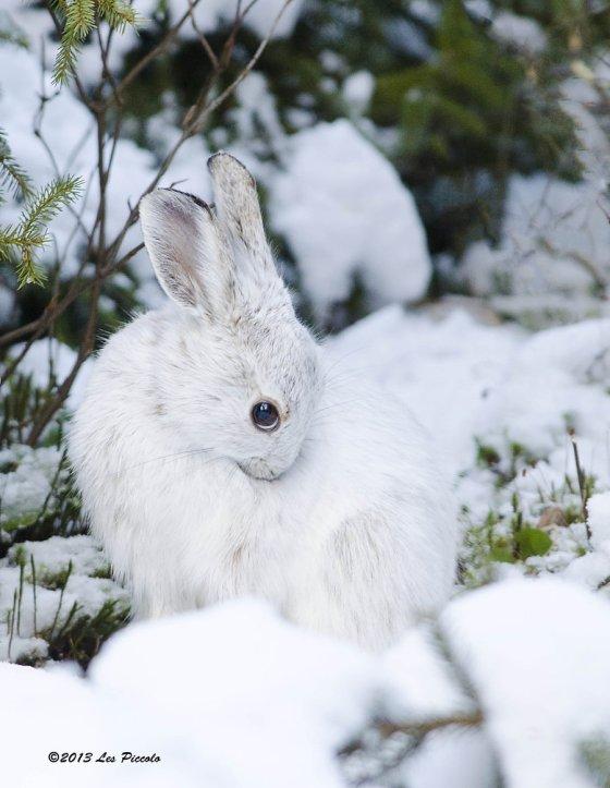 snowshoe_hare_2_by_les_piccolo-d4jw8xt