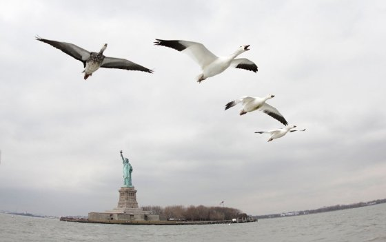 NatureEarthflight_NYC_geese_tx800