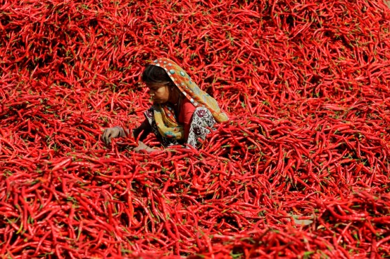 An Indian worker removes the petiole from red chilies at Shertha village, near Ahmadabad, India, Wednesday, Feb. 15, 2012. A worker earns around ten Rupees ( 0.20 USD) for removing the petiole of 20 kilograms (4.4 Pounds) of red chili. (AP Photo/Ajit Solanki)